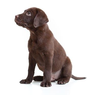 Labrador retriever puppy on white