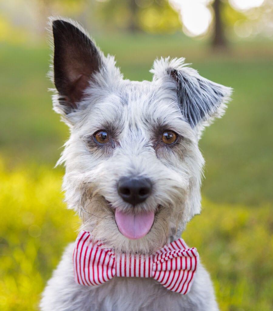 Dog in Bowtie-hi