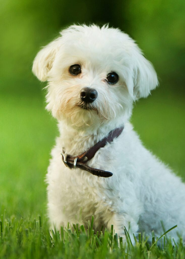 white puppy in grass